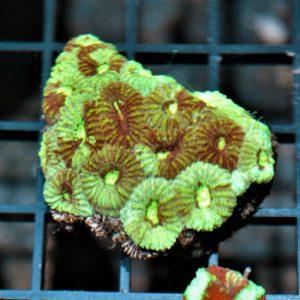 Bi-color Favia