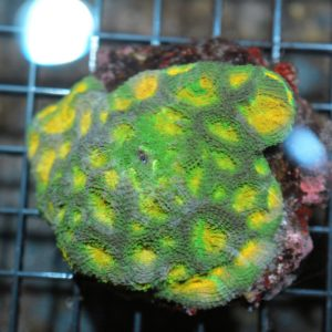 Jungle Acan Echinata