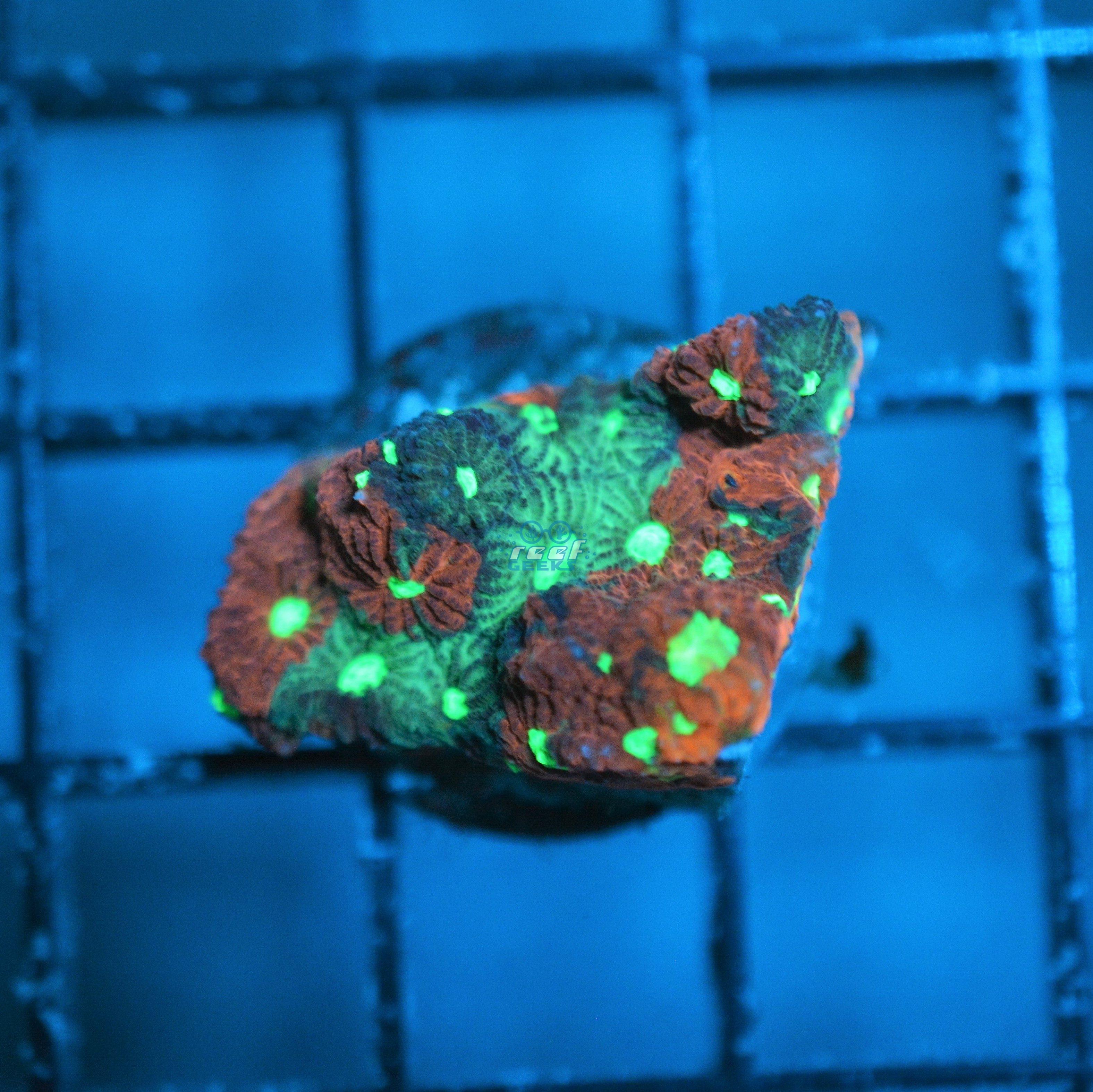 Aussie War Coral
