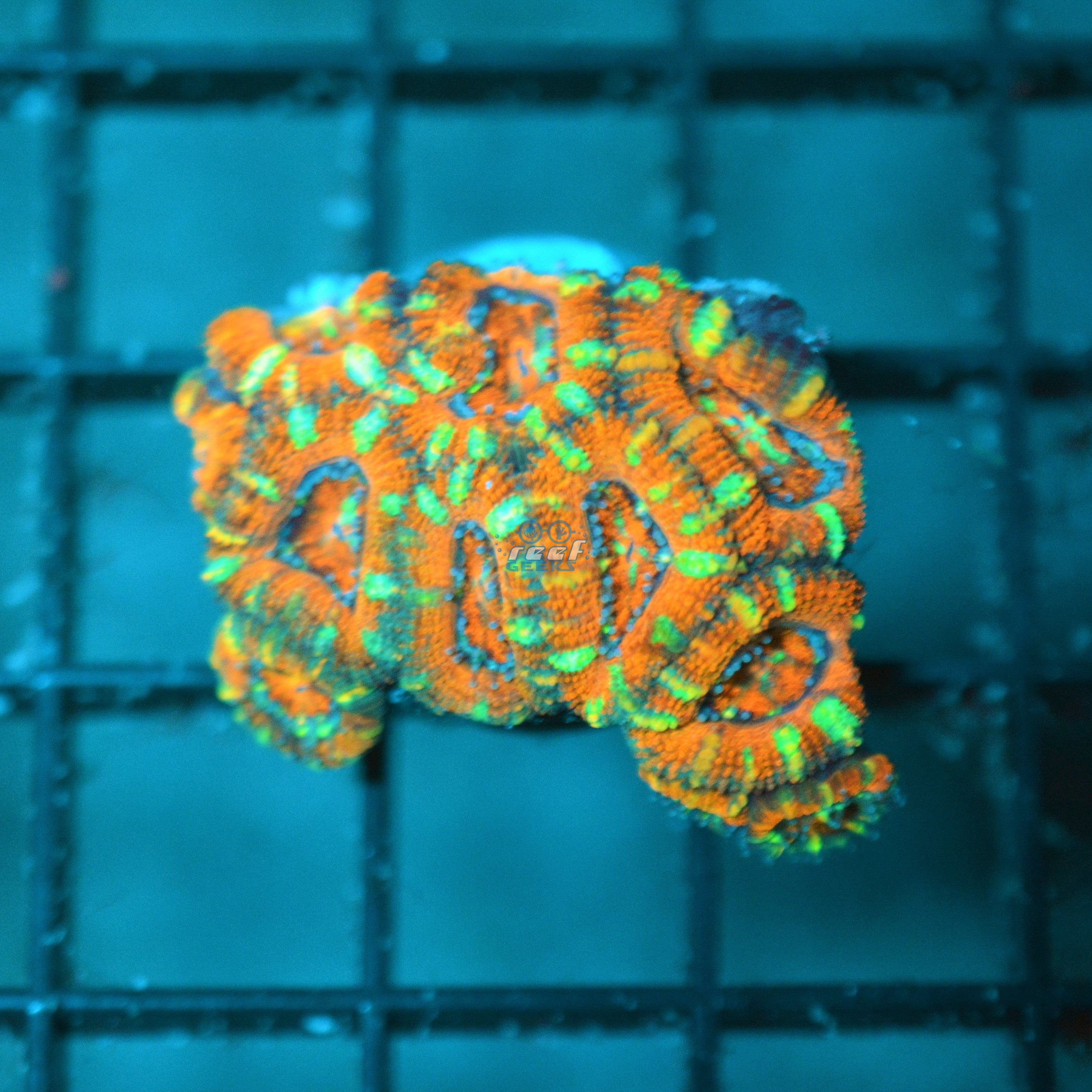Aussie Candy Cane Acan Lord