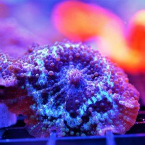 Electric Blue Rim Mushroom