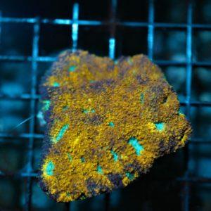 Indo  Gold/Blue Eye Echinata