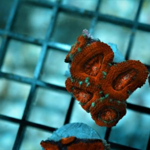 Aussie Red Acan Lord