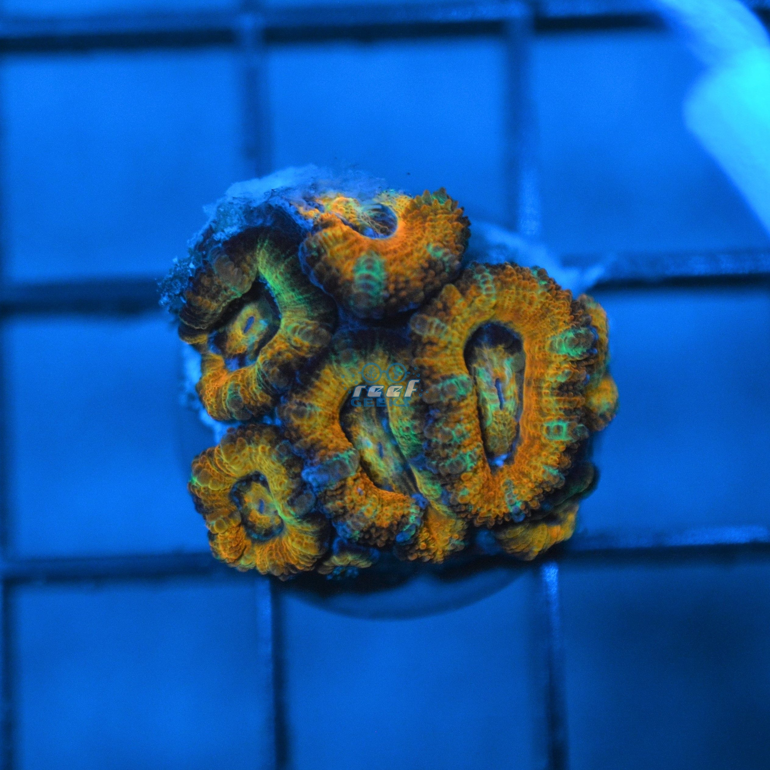 Aussie Ultra Bright Rainbow Acan Lord