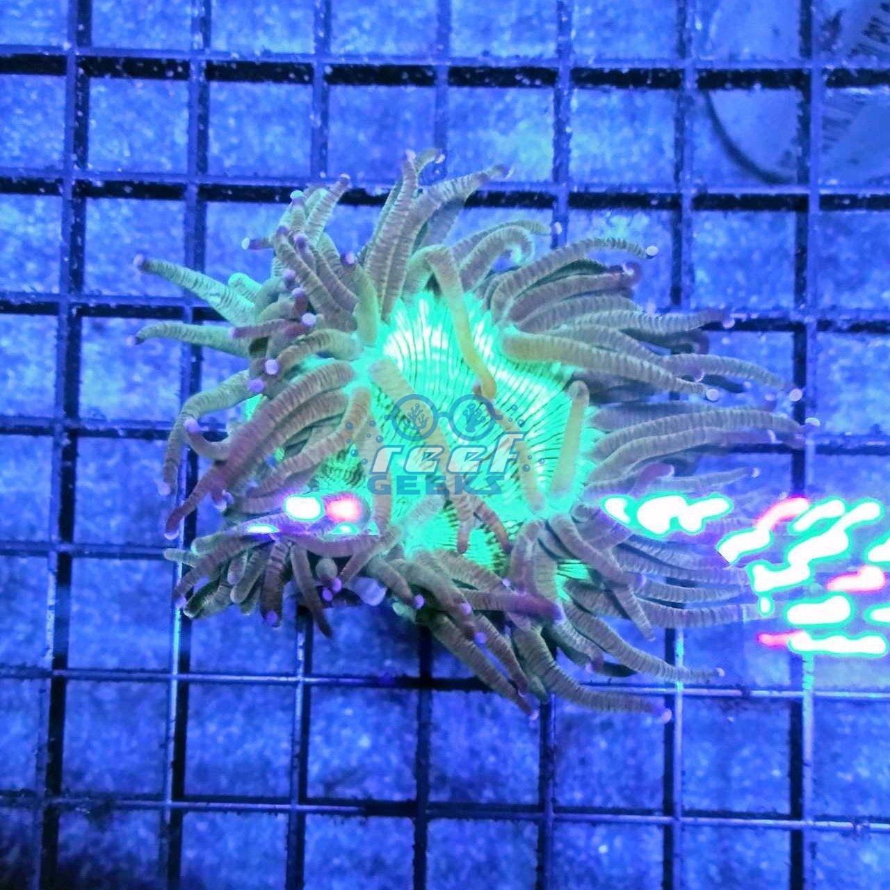 Aussie Elegance Coral