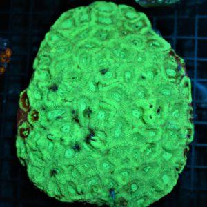 Aussie Bi Color Pineapple Coral