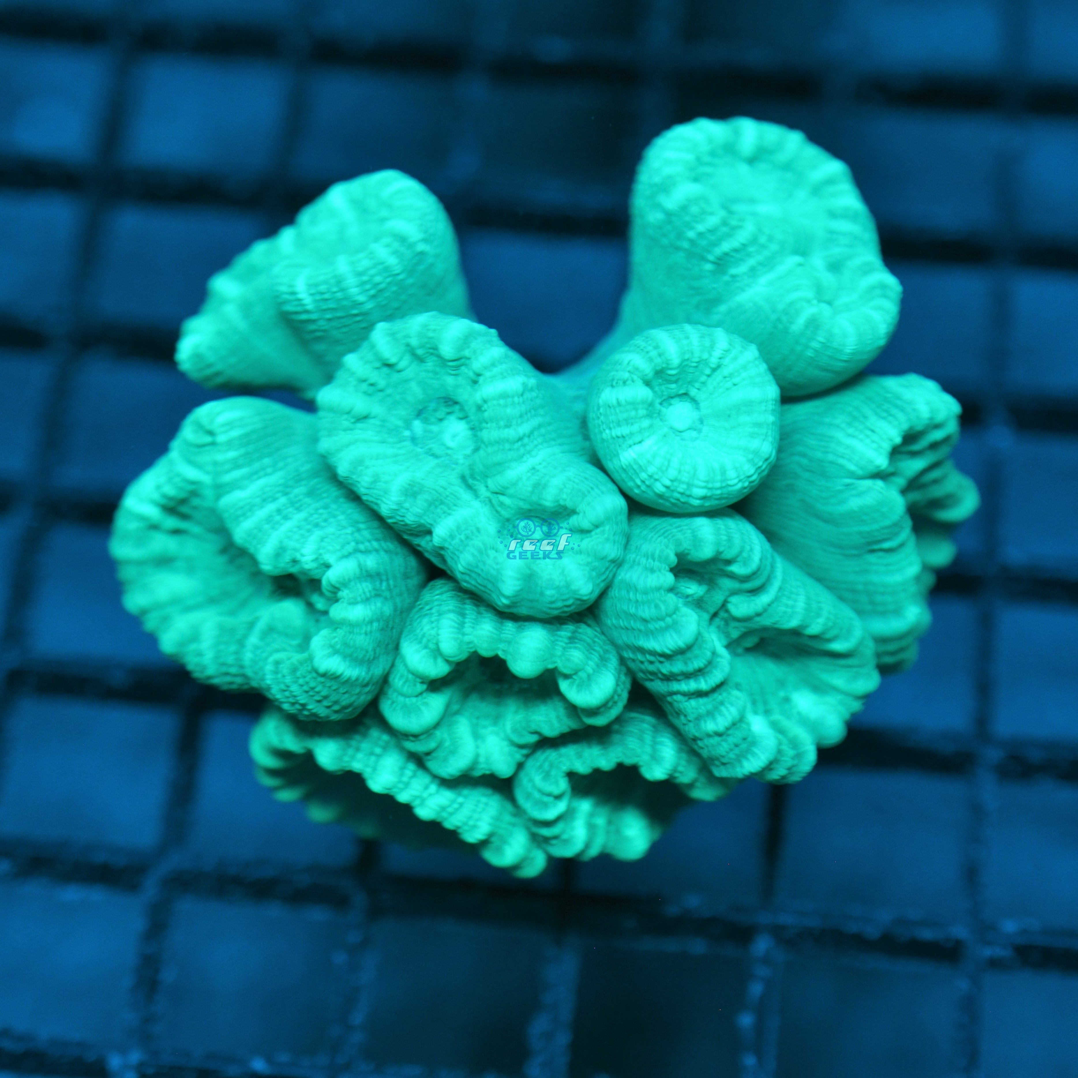 Metallic Candy Cane Coral