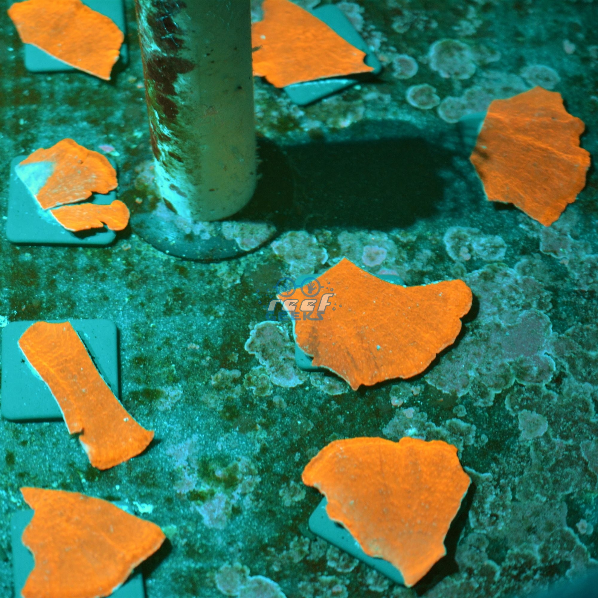 Metallic Orange Plating Montipora