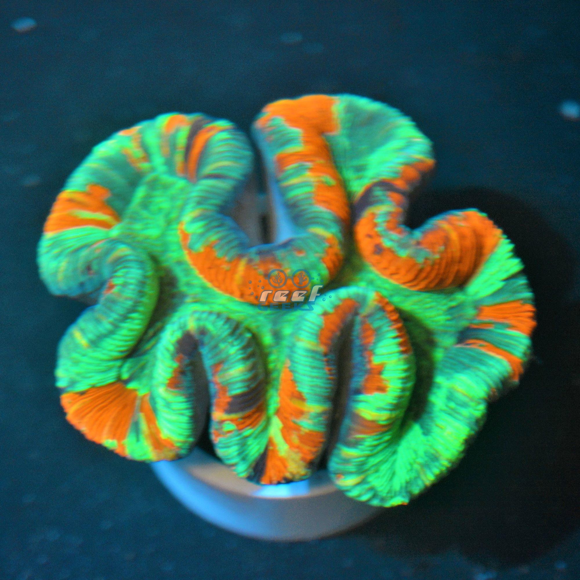 Aussie Ultra Rainbow Trachyphyllia