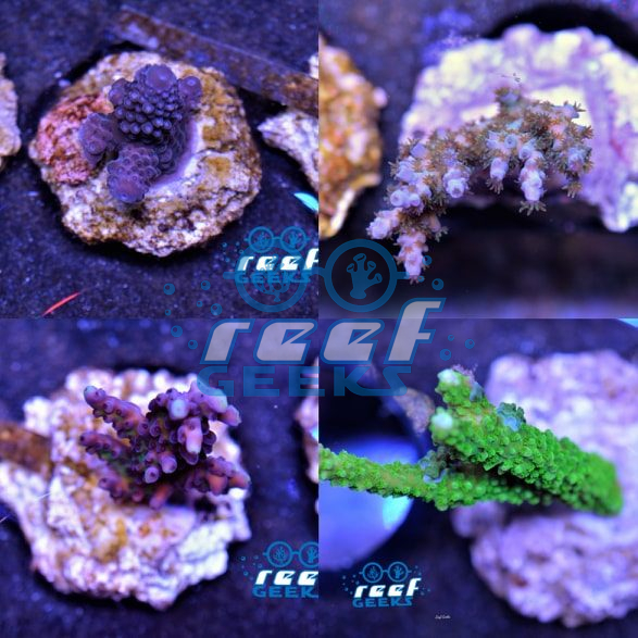 100% Aquacultured SPS Colony Pack