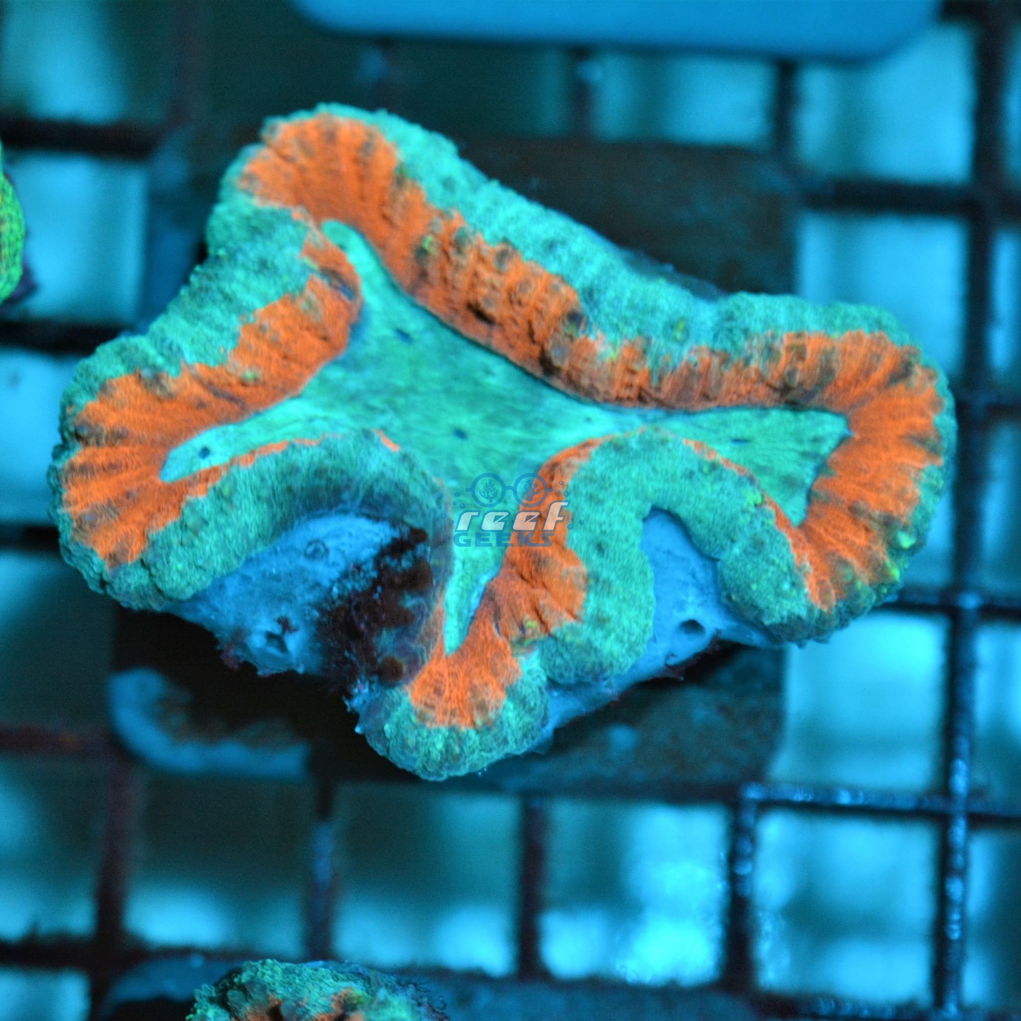Aussie Bright Orange & Blue Lobophyllia
