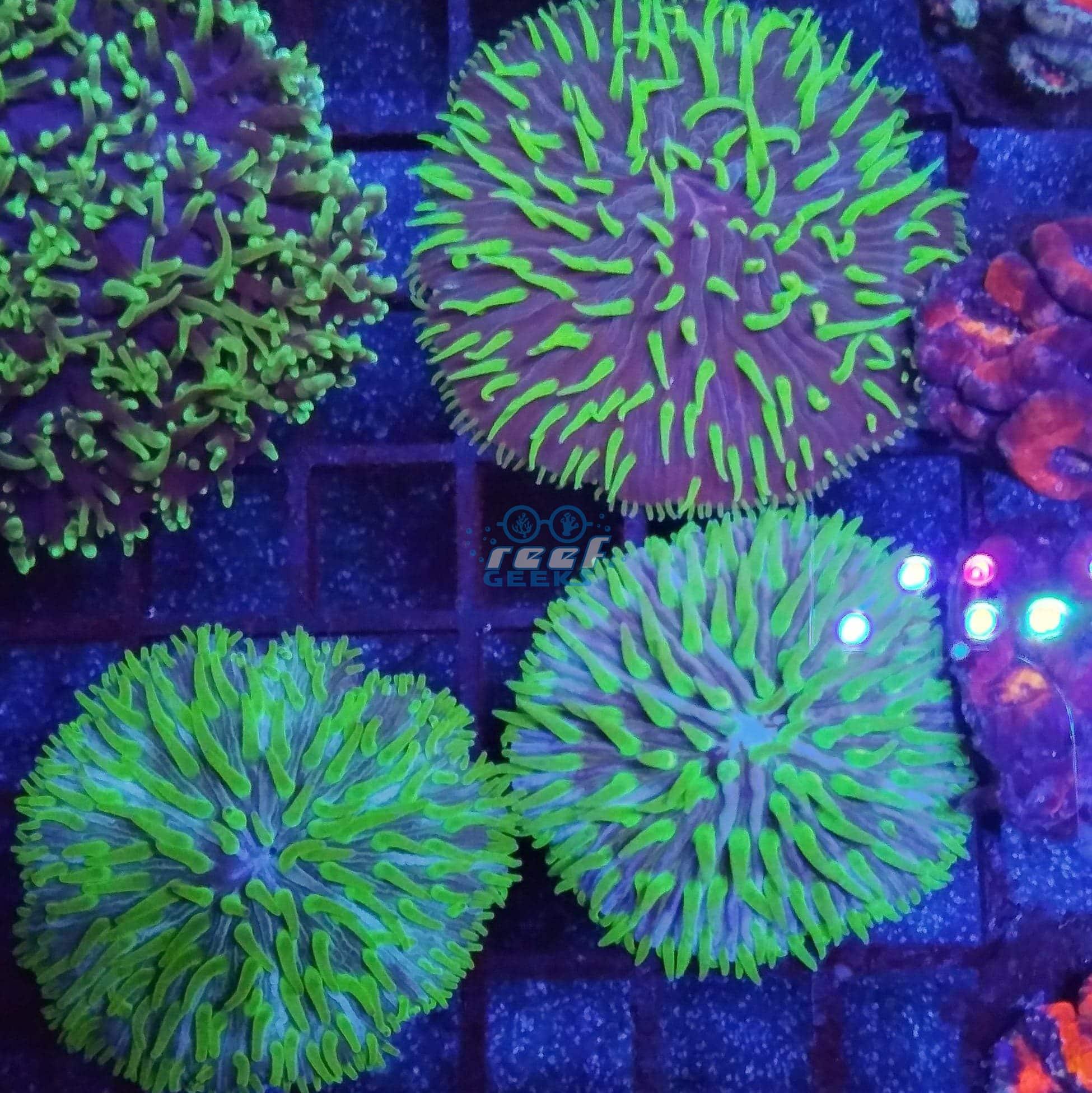 Funga Plat Coral