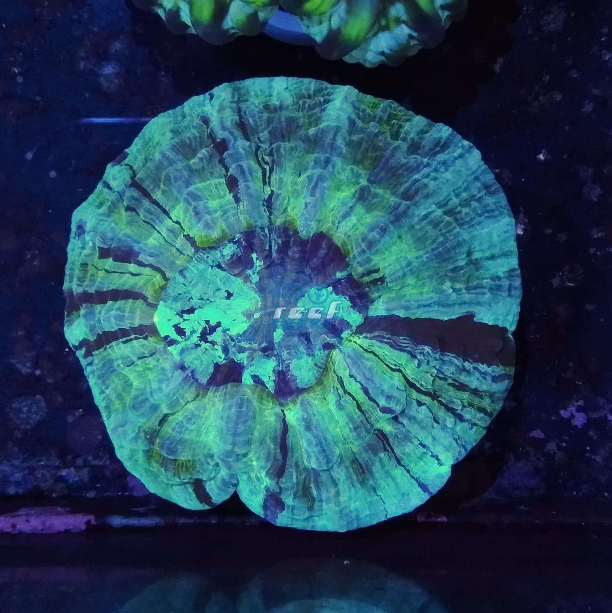 Aussie Doughnut Coral