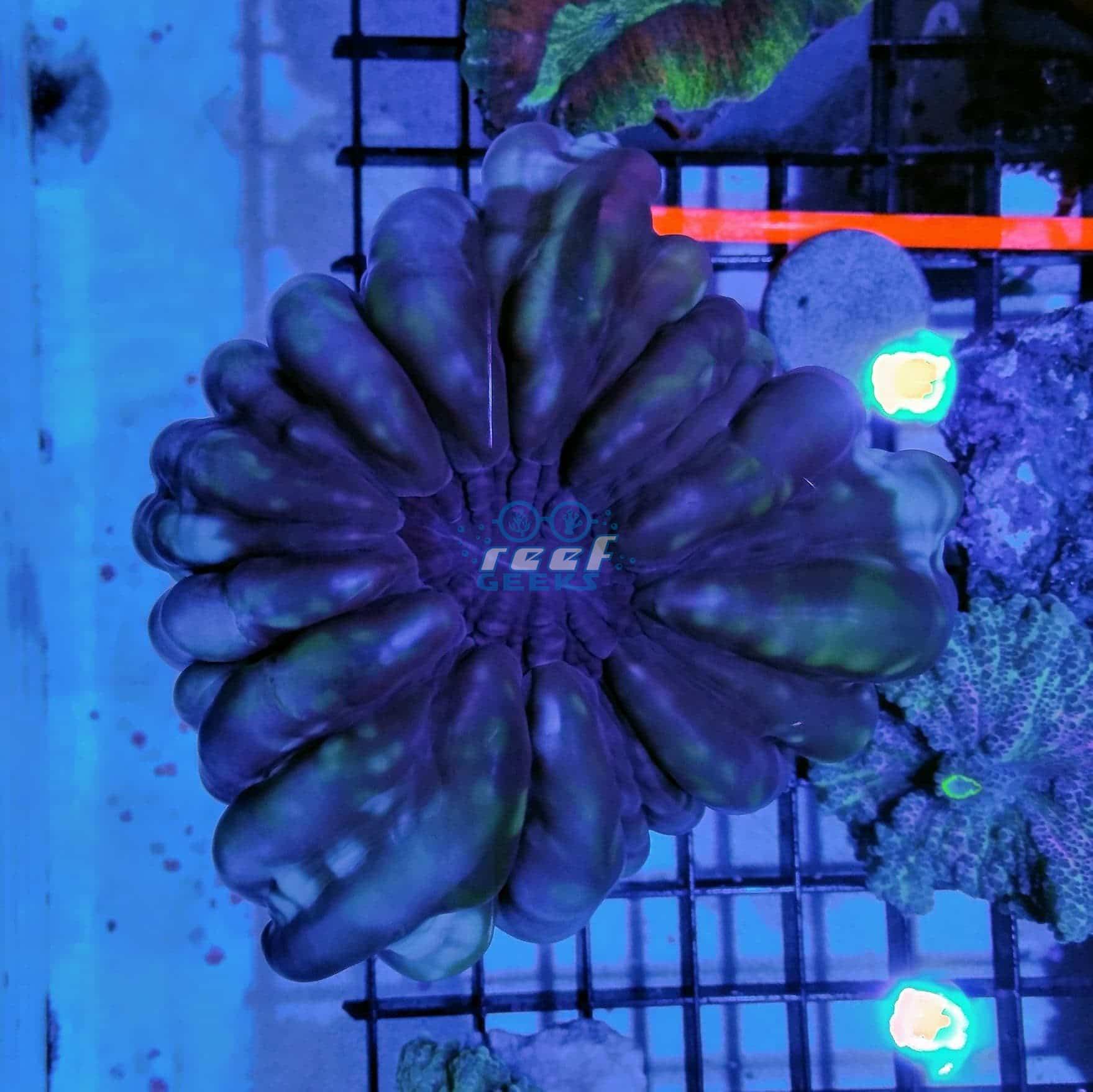 Button Coral
