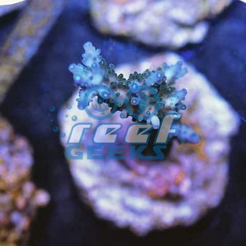 Aussie Staghorn Blue Tips