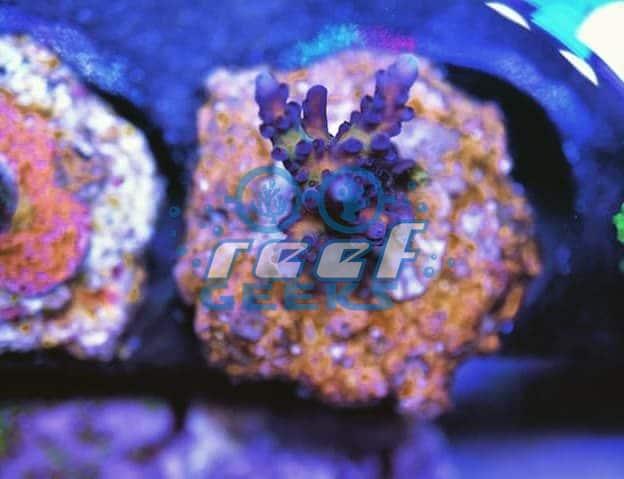 Reef Geeks Acro Of Life