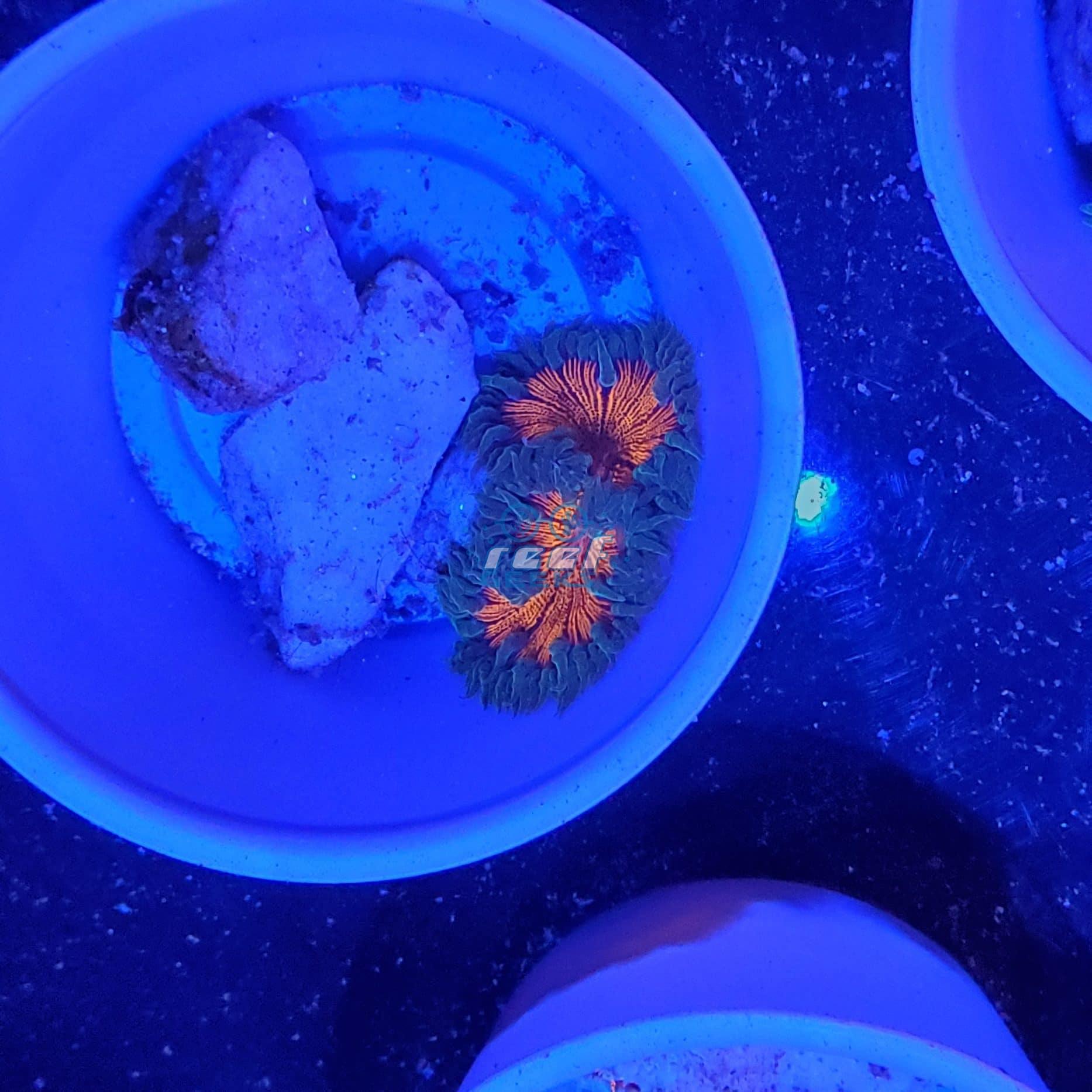 Ultra Flower Anemone WYSIWYG