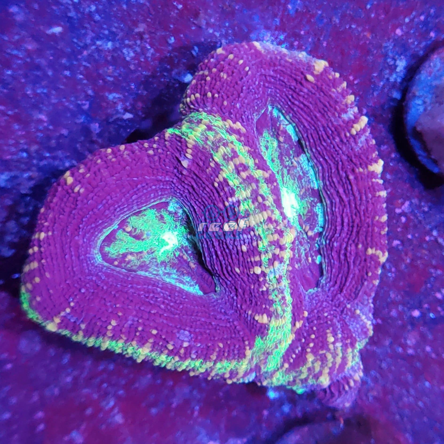 Fancy Tri-Color Acan Bowerbanki WYSIWYG