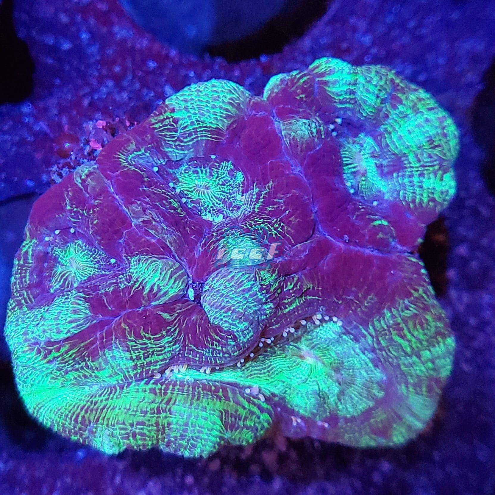 Green & Purple Infusion Acan Bowerbanki WYSIWYG