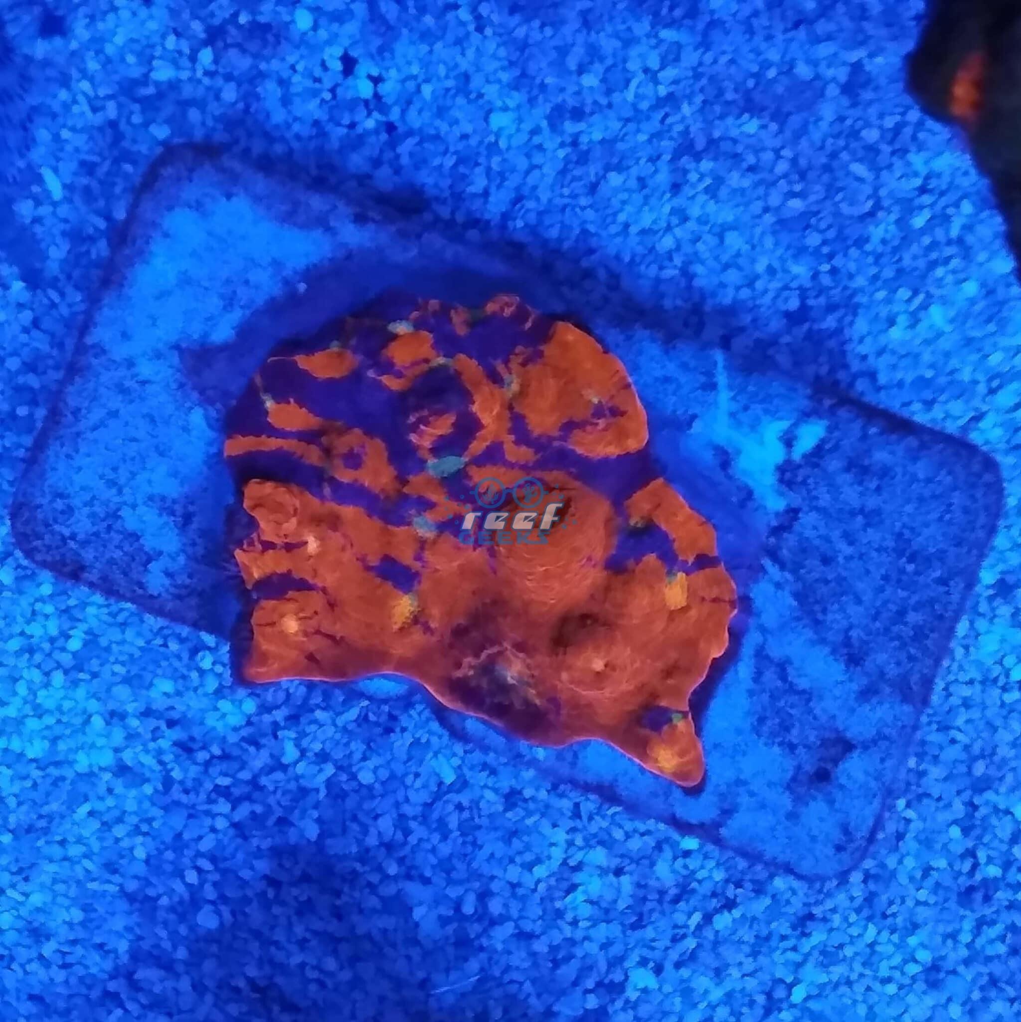 Reef Geeks Blue Blood Chalice WYSIWYG