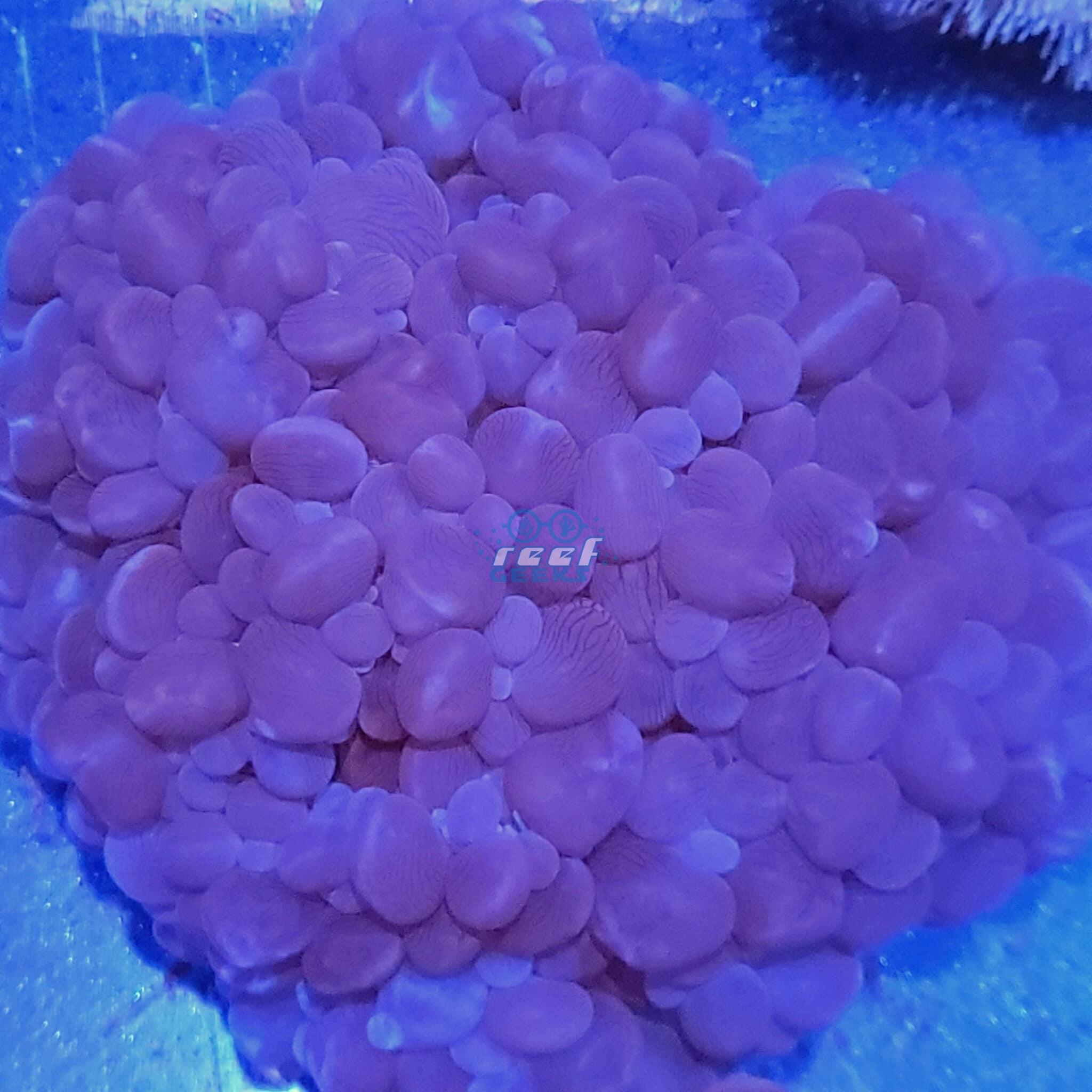 XXL Bubble Coral WYSIWYG