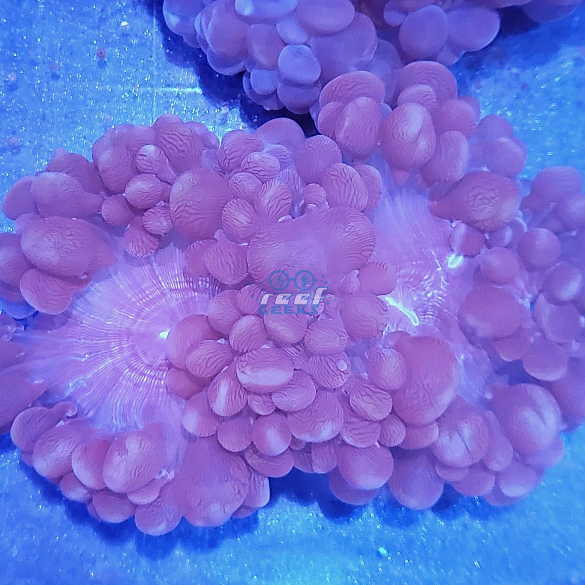 XL Bubble Coral WYSIWYG