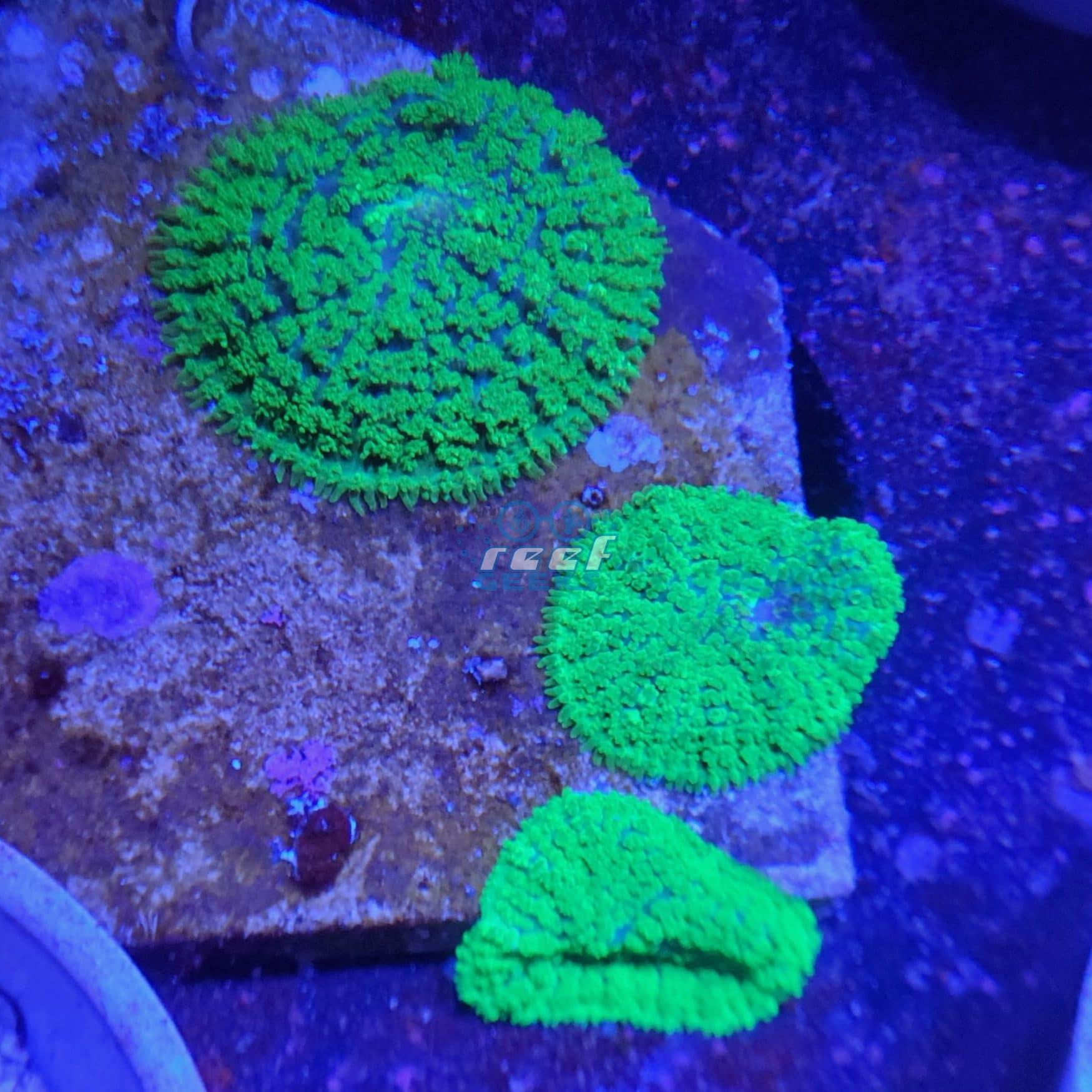 Toxic Green Mushroom