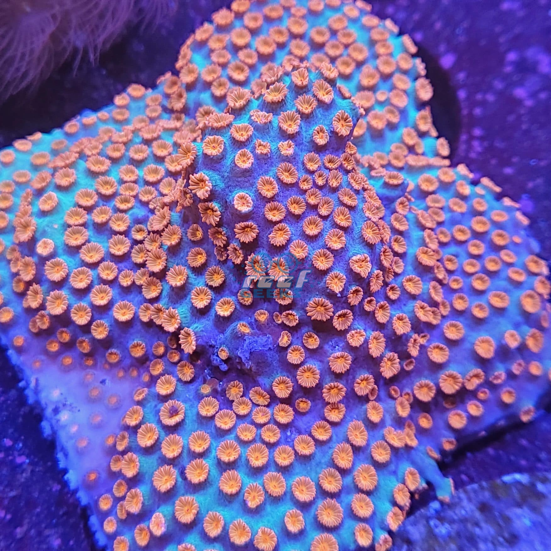 Meteor Shower Coral Colony