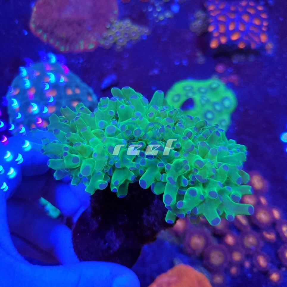 Indo Blue-tip Frogspawn Two-head