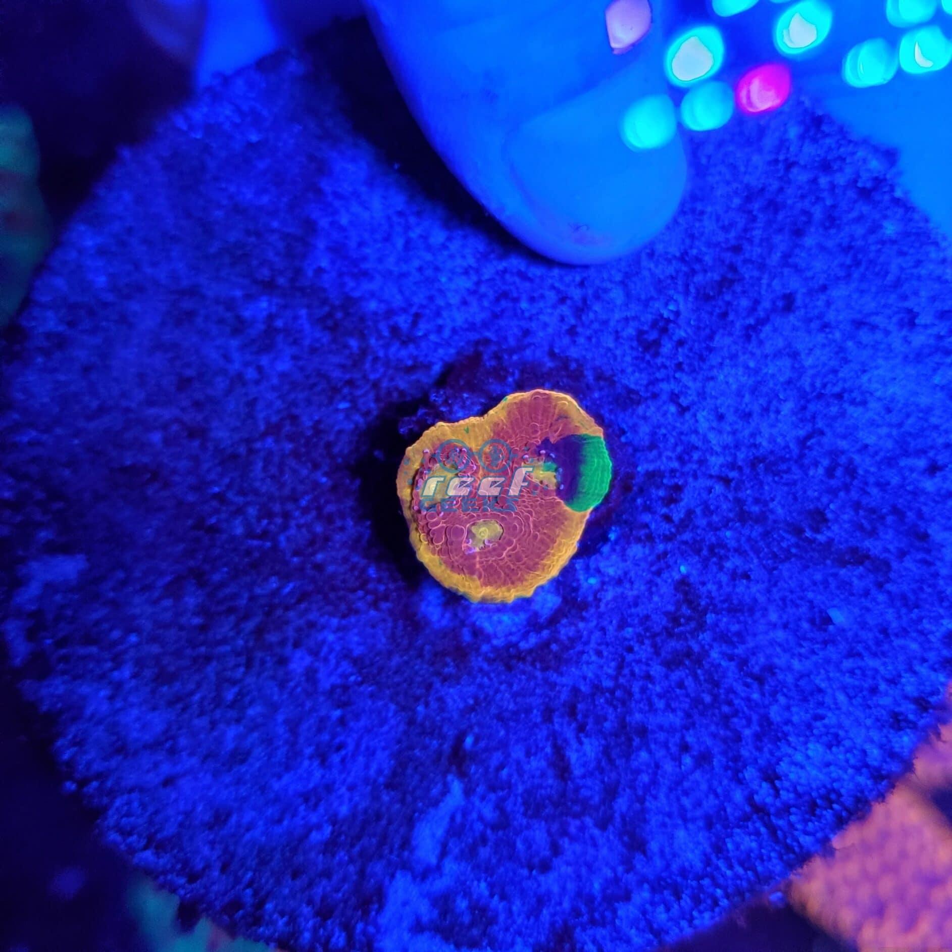 Rainbow Chalice WYSIWYG